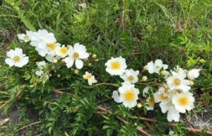 生存理由:野薔薇の花言葉「痛手からの回復」